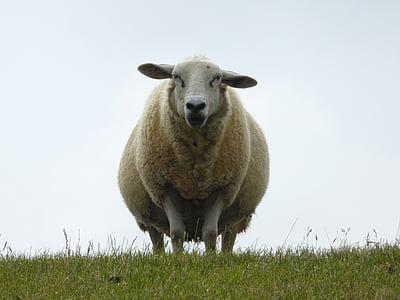 beige lamb on green grass field