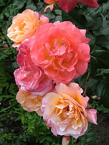 pink and beige roses outdoor during daytime