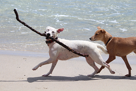 white dog fetching twig on seashore