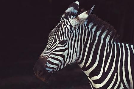 shallow focus photography of zebra