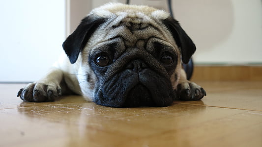pug laying on floor