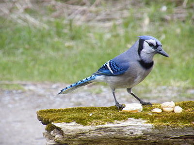 selective focus photography of blue jay