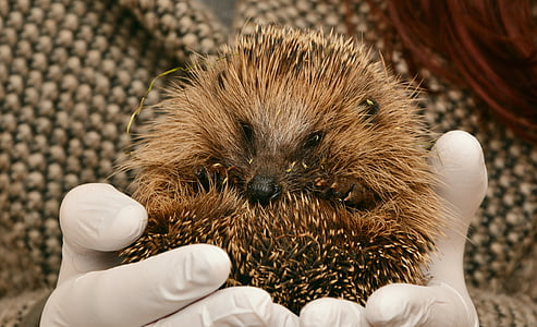 person holding brown hedgehog