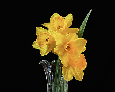 yellow daffodils in clear glass vase closeup photography