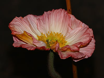 pink poppy in bloom close up photo