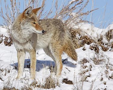 photo of gray fox on snow