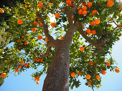 high-angle photography of tree with orange fruits