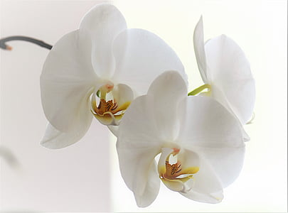 close up photo of three white moth orchids