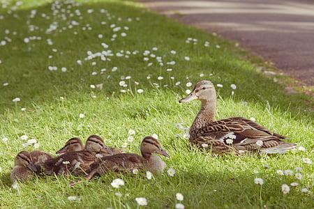 mallard duck with ducklings on green grass