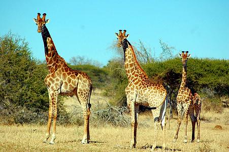 three brown giraffes on forest