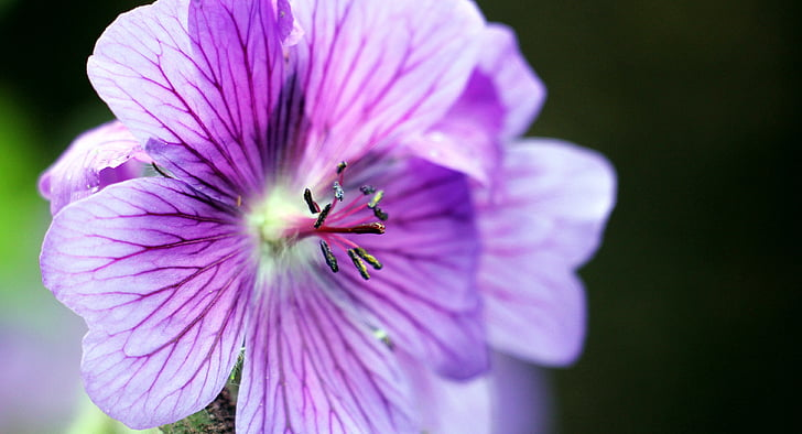 close-up photography of purple geraniums in bloom