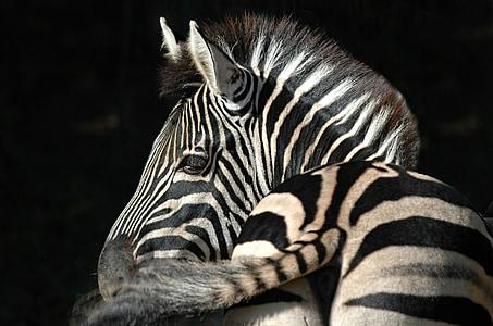 zebra with black background