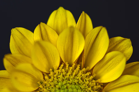macro photography of yellow dahlia flower