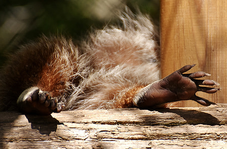 raccoon, feet, concerns, paws, cute, animal