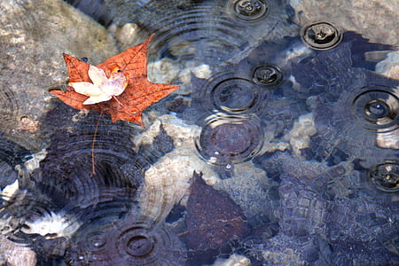 photo of brown maple leaf on body of water
