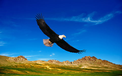 flying bald eagle during daytime