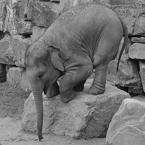 greyscale photography of baby elephant on rock