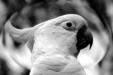grayscale photography of cockatoo