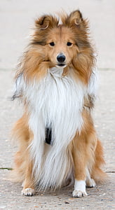 adult tan and white Shetland sheepdog