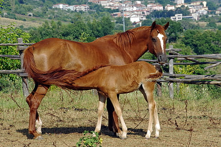 brown horse and baby feeding