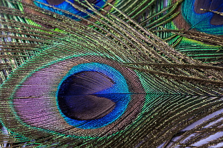 green, black, and blue peafowl feathers