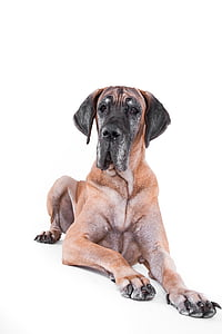 adult great dane
