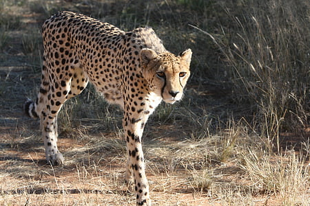 brown and black cheetah on field