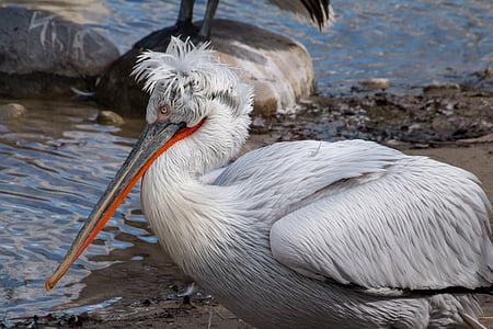 white pelican bird on seashore
