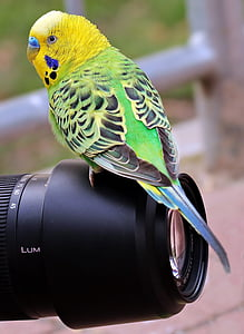 green budgerigar perched on black camera zoom lens