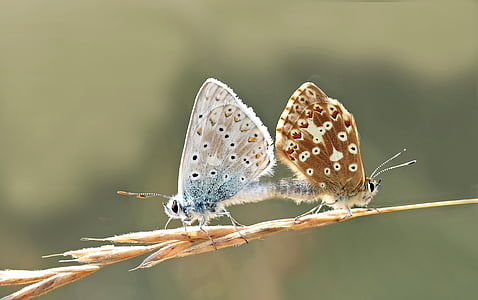 male and female common butterflies