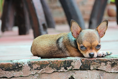 chihuahua on the pavement
