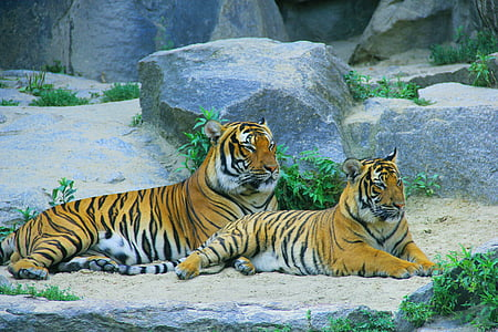 two Bengal tigers behind gray rocks