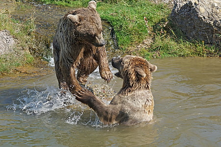two brown bears on body of water