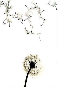 photo of dandelion flowers