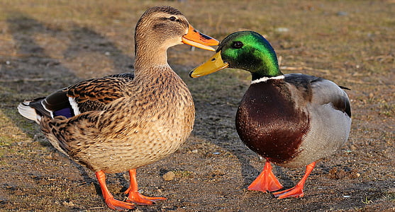 male and female mallard ducks standing on ground