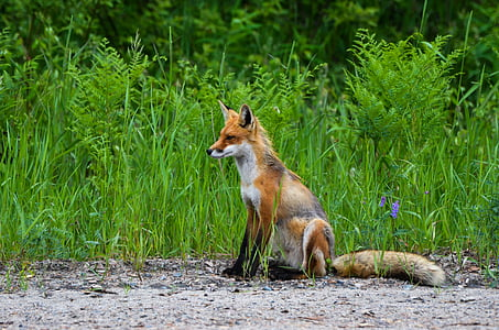photo of brown fox