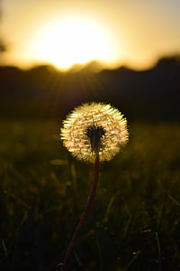 white dandelion flower selective-focus photography during sunset