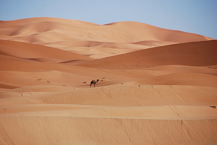 camel alone on desert
