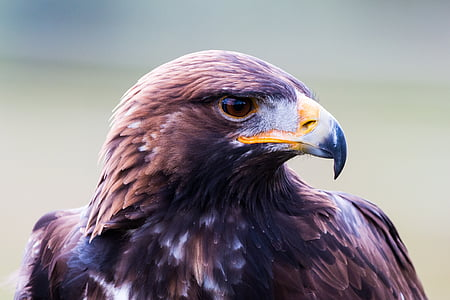 close up photography of brown eagle