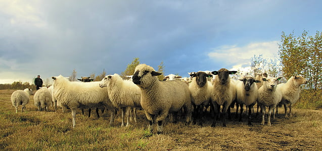 herd of white sheep under b lue sky