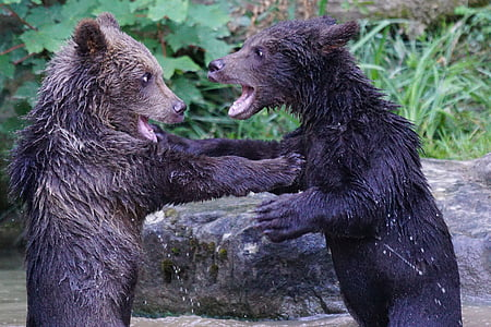 two black bears photography
