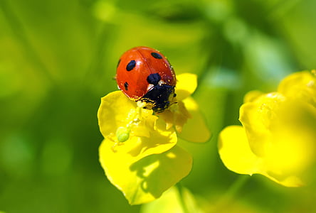 seven-spot ladybird on yellow flower in macro photography