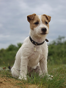 selective focus photo of Parson Russell terrier puppy on grass