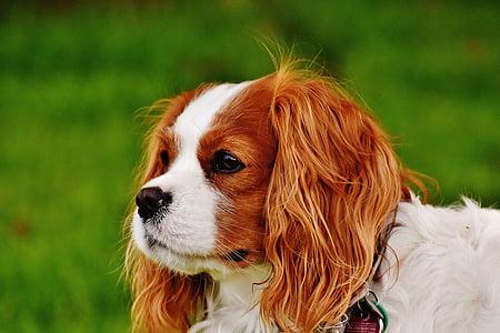 selective focus photography of adult Blenheim Cavalier King Charles spaniel near green grass
