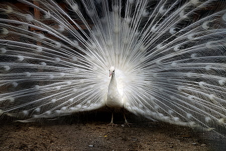 open tailed of white peacock