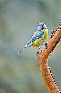 selective focus photography of Eurasian blue tit perched on branch
