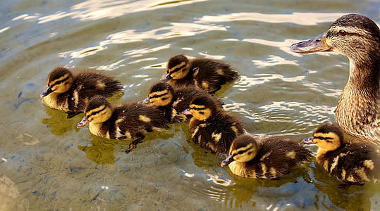 brown and yellow ducks on water