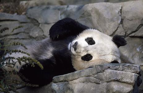 photography of panda
