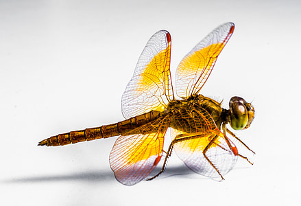 yellow and brown dragonfly