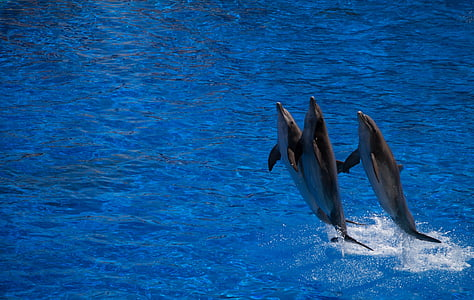 three dolphin above water